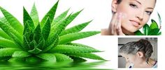 #All about Aloe Vera - The Hans India: The Hans India All about Aloe Vera The Hans India From Nature's beauty parlour comes the magical…