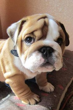 As a bulldog owner how can i not like this? Very very sweet. Wrinkled cuteness. #Bulldog #puppy   ♥♥♥ this cute lil face