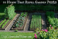 10 Herbs That Repel Garden Pests. Insects and animals can be a problem when it comes to growing a successful garden. Plant herbs to repel the insects.