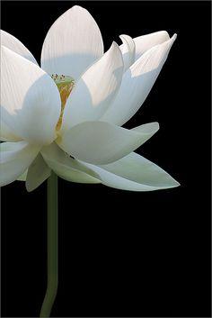 White Lotus Flower At Sunrise DD0A7054-white-lotus-1000 | Flickr - Photo Sharing!