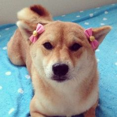 I'm always amazed when I see shibas with bows and hats on them.  I can't even get my boy to sit still for a picture.