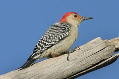 The name Red-Bellied Woodpecker is misleading, for the red patch on its belly is rather faint. It feeds mainly on insects, but will also visit seed feeders.