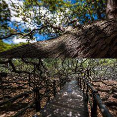 O Cajueiro de Pirangi é uma árvore gigantesca que atrai muitos turistas na praia de Pirangi do Norte no RN.  Ele é conhecido como o maior cajueiro do mundo. Conheça outros lugares de dois ângulos diferentes em @TIMBrasil. #OlharesInspiradores #TIMBrasil#FazerDiferente #Publi Repost de @mmcredie