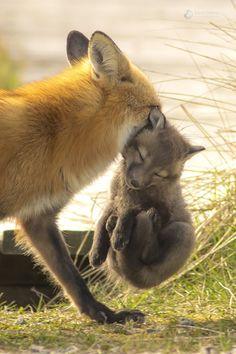 Red Foxes by Kris Tynski – National Geographic… – crescentmoon animalia - Animals Wild Life Mundo Animal, My Animal, Cute Funny Animals, Cute Baby Animals, Nature Animals, Animals And Pets, Beautiful Creatures, Animals Beautiful, Cute Fox
