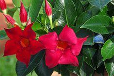Flower Beds, My Flower, Flower Power, All Flowers, Beautiful Flowers, Dream Garden, Home And Garden, Creepers, Garden Plants