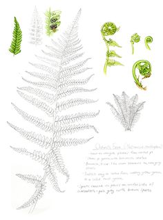 #Botanicalillustration of the #ostrichfern.  I thought this would be an utter ngithmare, but I loved it.  Just sat there drawing the big fern, chatting to a mate who'se about to have her 2nd child.  A really happy illustration, this one.