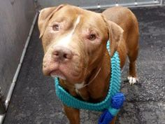 TO BE DESTROYED - 04/10/14 Manhattan Center -P  My name is MICKEY aka MICKEY ROONEY. My Animal ID # is A0995745. I am a male brown and white pit bull mix. The shelter thinks I am about 4 YEARS old.  I came in the shelter as a STRAY on 04/04/2014 from NY 10458, owner surrender reason stated was STRAY.