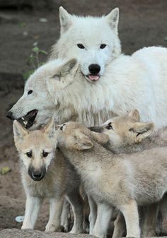 Arctic wolf family(Canis lupus arctos). Alpha, Omega and frisky pups.