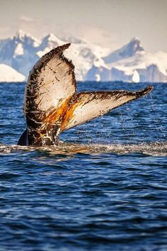 Humpback whale showing its fluke prior to diving deep in Antarctica
