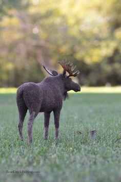Needle Felted Moose by Teresa Perleberg