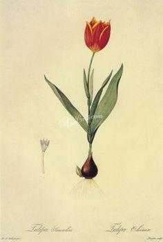 tulipa gesneriana ...
