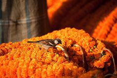 Birds peck at orange marigold flowers at the Howrah Flower Market, commonly referred to as the largest flower market in Asia. Near Howrah Bridge along the Hooghly River, Kolkata, India.