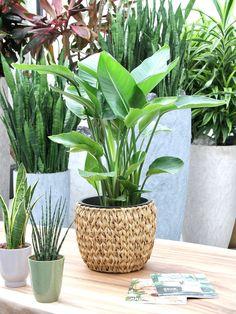 Ken je deze plant al? De Strelitzia Nicolai, of ook wel bekend als Witte Paradijsvogelbloem is een populaire kamerplant. Zie jij ook de grote bladeren? De plant, de Strelitzia Nicolai, staat heel graag in jouw woonkamer! #kamerplanten #planten #woonkamer