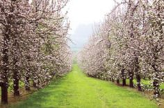 Annapolis Valley Apple Blossom Festival - week of May annually Apple Blossom Festival, Apple Festival, Annapolis Valley, Blossom Trees, Blossoms, Apple Orchard, Beautiful Sites, Spring Blossom, Places Of Interest