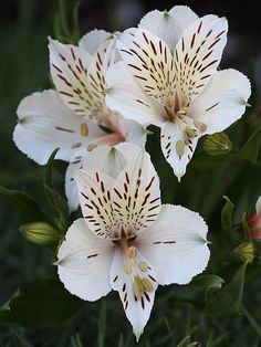 blooms-and-shrooms:  Peruvian Lilies by donsutherland1 on Flickr.