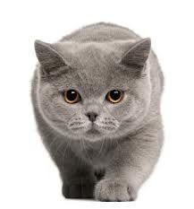 gato pelo curto ingles