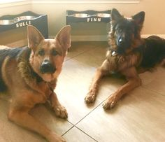 GSDs-Sulli & Finn - intense little faces
