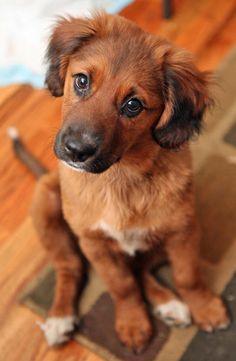 Golden Retriever/Irish Setter mix- this dog has such a beautiful coat!