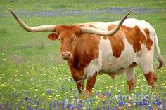 Longhorn standing in Bluebonnets...icon upon icon!