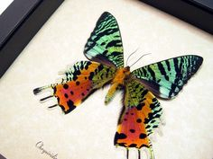 Species: Chrysiridia Madagascarensis Verso Common Name: Sunset Moth Also Known as: Urania rhipheus Native Origin: Madagascar Frame Size: 6.5″ square Frame Color: black Wood Frame: Finest Hand…