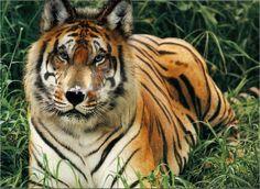 #WTF?! Tiger Wolf! OGM!