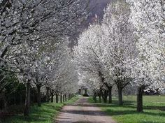 Callery Pear / Ornamental Pear  Pyrus calleryana  Easy tree, upright and tall  Low-Moderate water
