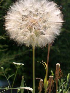 Dandelions are dear to me ♡♥