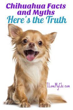 Chihuahua Facts and Myths - Chihuahuas - Puppies Chihuahua Facts, Chihuahua Breeds, Teacup Chihuahua, Chihuahua Puppies, Baby Puppies, Chihuahuas, Teacup Dogs, Beagles, Chihuahua Information