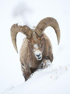 Bighorn Ram by Sean Crane on 500px