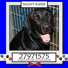 Urgent Animals at Fort Worth Animal Care and Control Page Liked · 23 hrs · Edited ·    **Fort Worth, TX - Current Status: Medical Urgent - Adoptable - can be euthanized at any time  Reason for URGENT: Upper Respiratory Infection  Animal ID: 27971575 Name: Night Rider Breed: Labrador mix Sex: Male Age: 2 years Weight: 53 lbs FULLY VETTED Heartworm Negative  Personality 6/10: Night Rider wanted my attention so badly that he kept barking for me to notice him. He's a very friendly guy that just…