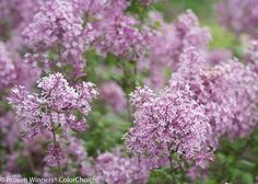 Proven Winners - Bloomerang® Purple - Reblooming Lilac - Syringa x purple lavender plant details, information and resources. Bloomerang Lilac, Syringa, Flowering Shrubs, Lawn And Garden, My Flower, The Great Outdoors, Garden Landscaping, Beautiful Flowers, Flora