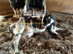 Sometimes we are mean to our cows. Dairy farmers explain the truth. Wisconsin's Dairy Carrie Blog