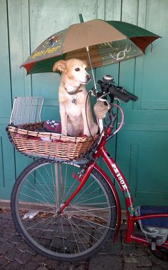 Dog in bike basket with umbrella Baby Dogs, Dogs And Puppies, I Love Dogs, Cute Dogs, Parasol, Jolie Photo, Mans Best Friend, Doge, Dog Life
