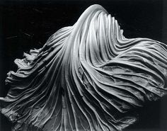 Cabbage Leaf, photograph by Karl Blossfeldt