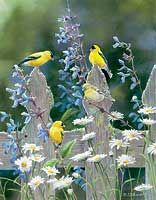 Goldfinches & Pickets by Susan Bourdet