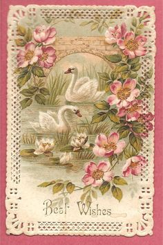 BEAUTIFUL SWANS & LILIES on a pond,