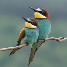 Enamoured couple of bee-eaters, perched on a twig. http://ourbeautifulworldanduniverse.com/bird-population-facts.html