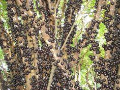 jabuticabeira, brazilian fruit tree. Exotic Fruit, Sprouts, American Life, Vegetables, Brazil, Plants, Food, Image, Zucchini