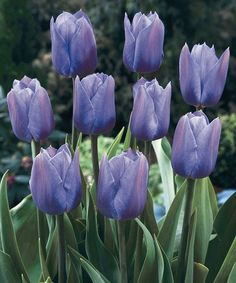 beautiful periwinkle-colored tulips, posted via greengardenblog.com