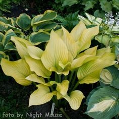 Hosta Fort Knox [ 70 x 60cm ]