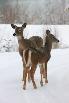 Photography: Deer posing on the driveway