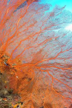 Giant Gorgonian Sea Fan http://what-do-animals-eat.com/coral/