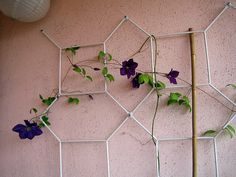 our clematis is in bloom