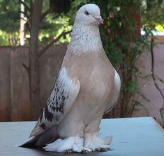 Şebab Güvercin Taklacı Kürenk Miski - Miski