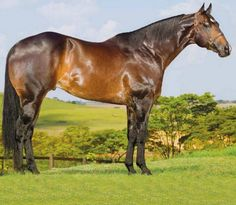 Quarter horse stallion, Famous Lane.