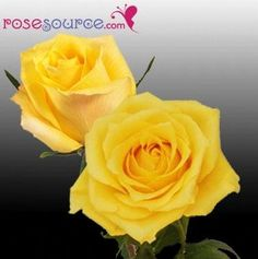Yellow Ecuadorian Roses