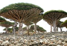 Socotra Island, Yemen. One third of the plant life on Socotra Island is found nowhere else on planet Earth. One of the most bizarre forms of life is the dragon blood tree, which resembles an umbrella.