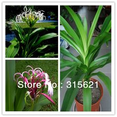 Big Crinum Asiaticum Seeds Ball Roots Balcony Potted Office Flower Plants Ama Crinum