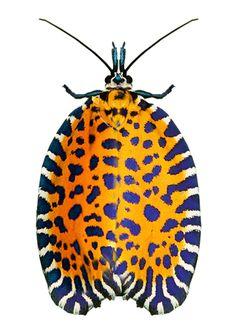 Pseudatteria leopardina (a species of moth [t]
