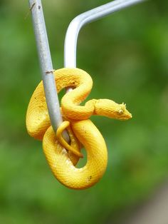 Yellow Viper in Tortuguero National Park, Costa Rica - Kelsey Smith by APIstudyabroad, via Flickr